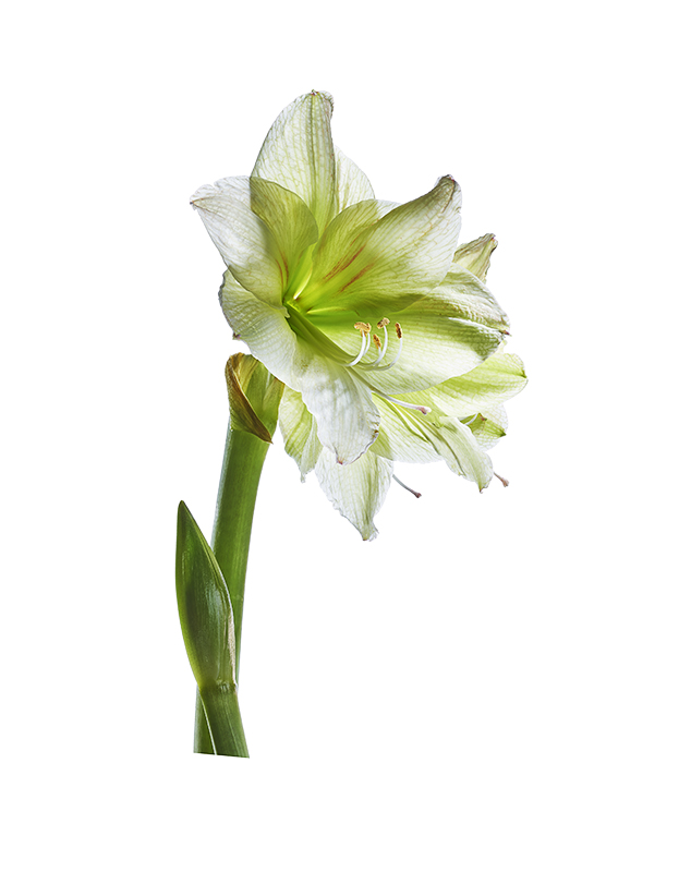 Amaryllis_Limona, flower, botanicals, Toronto commercial photographer, york region commercial photographer, flower, flower photograph, macro photography