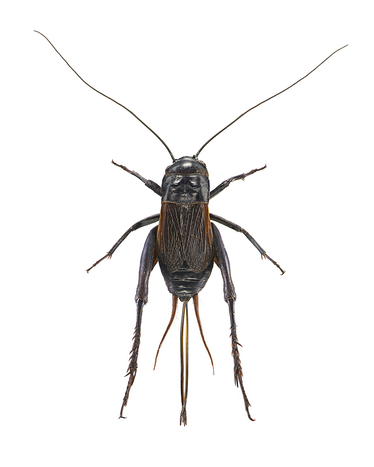 Field Cricket, Gryllus spp.