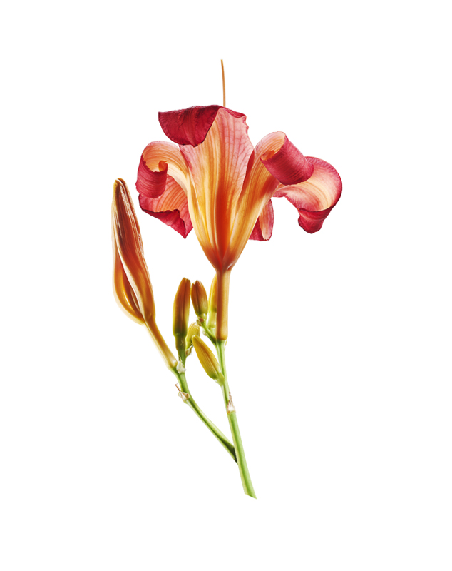 Lily, Lilium, flower, botanicals, Toronto commercial photographer, york region commercial photographer, flower, flower photograph, macro photography