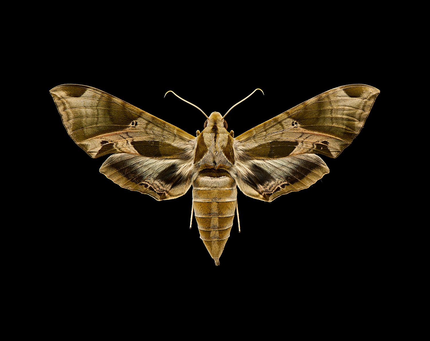 Eumorpha pandorus moth. Entomology photography. Toronto commercial photographer. Newmarket commercial photographer. Toronto product photographer